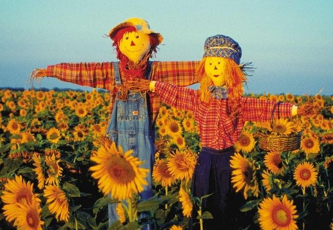 Two scarecrows in a field of sunflowers