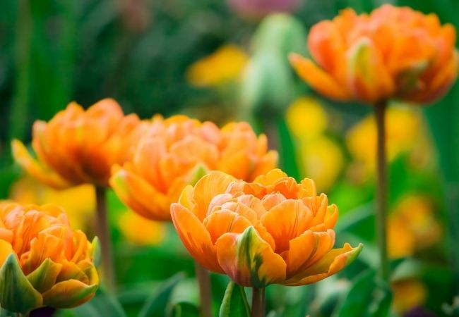 Picture of Orange Tulips in a Field