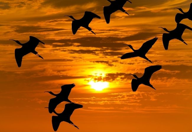 Birds migrating in the sky at sunset