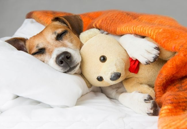 Dog in bed with a teddy bear and orange blanket