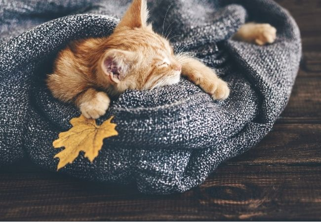 Ginger Cat sleeping in a gray blanket with a leaf
