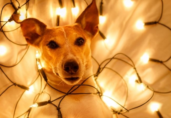 Hygge Bedtime Ritual - Dog Laying down in bed with fairy lights surrounding him