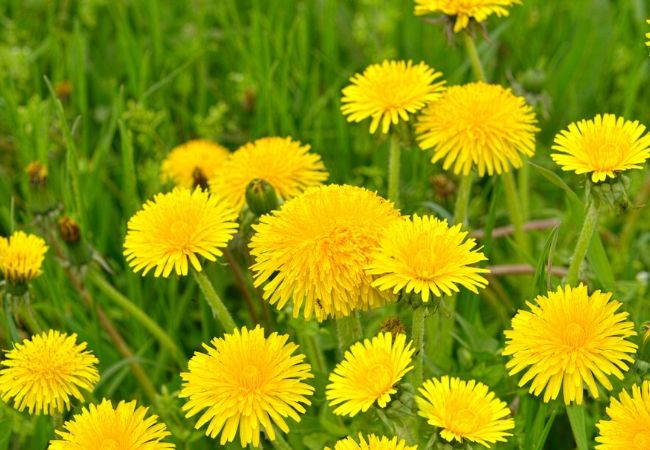 Dandelion plants in a tea garden