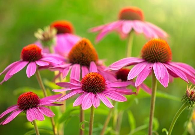Echinacea plants for tea garden