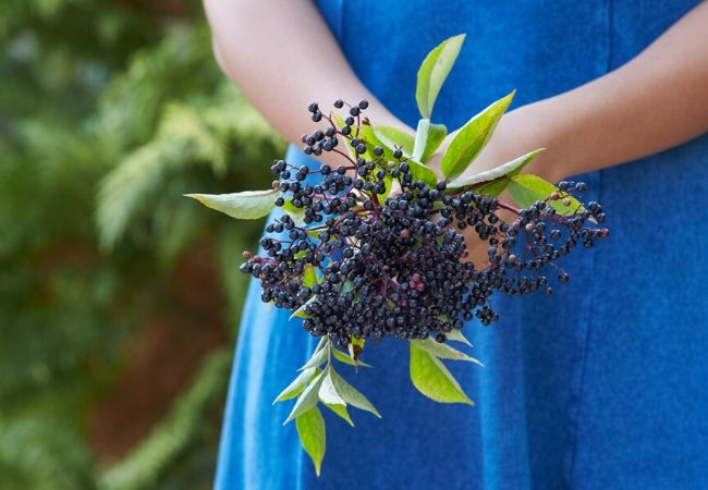 Elderberry plants for a tea garden