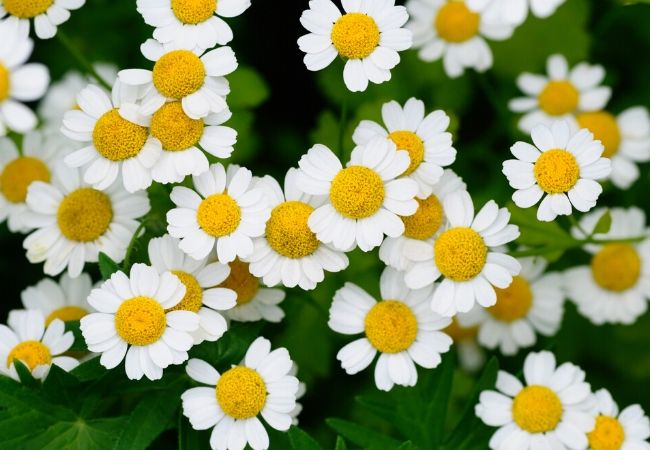 Growing chamomile in a tea garden