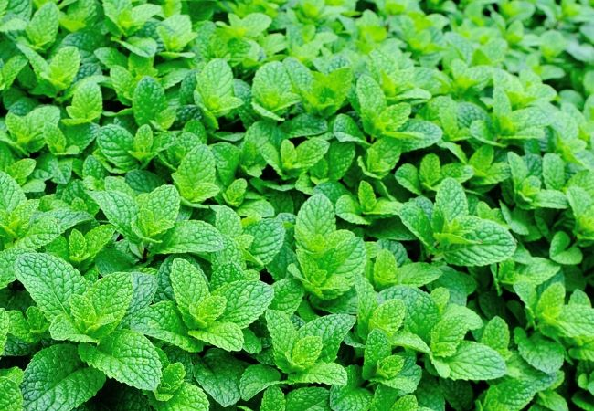 Growing mint in a tea garden