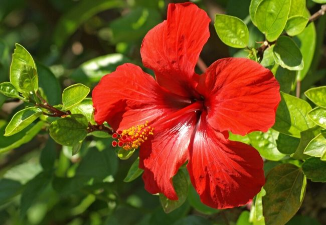 Hibiscus flower plants for tea garden