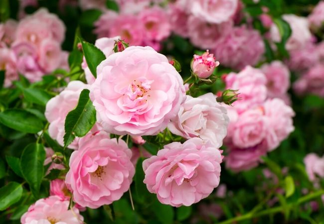 Rose plants for a tea garden