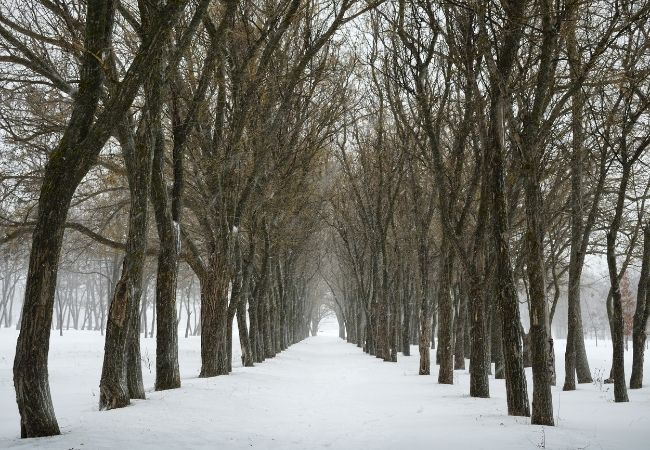 Trees that are lining a pathway with snow on the ground