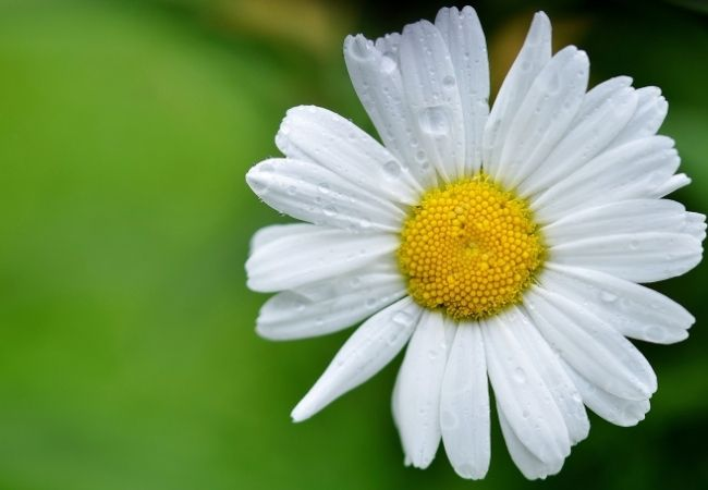 Close-up of a single daisy and a green leaf
