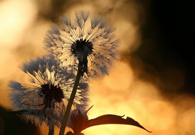 Dandelions that have gone to seed at sunset