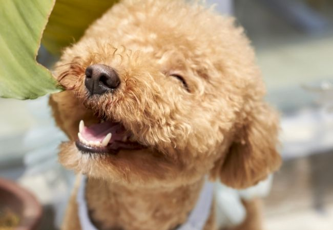 Close-up of a happy poodle-mix dog