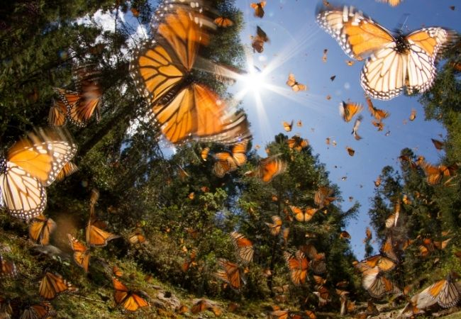 Monarch butterflies flying in front of bushes and a peek of the sky