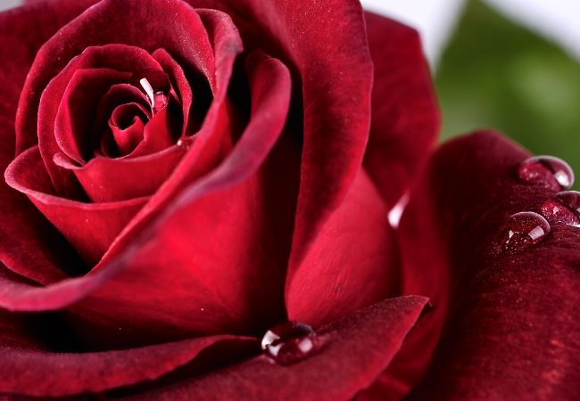 Days of Valentine Week - Rose Day
