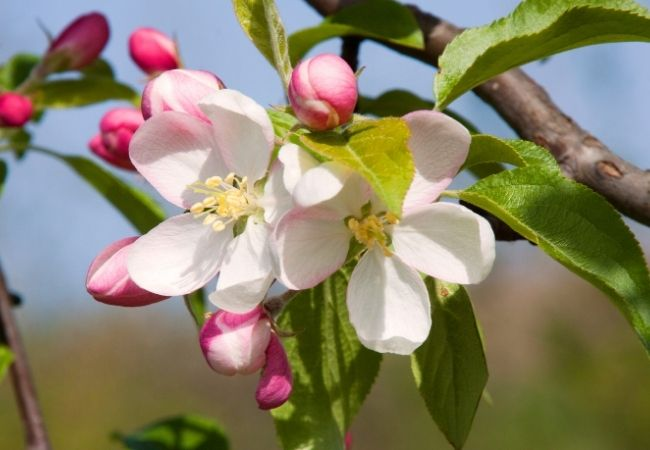 200 Simple Things to Be Grateful for - Apple Blossoms