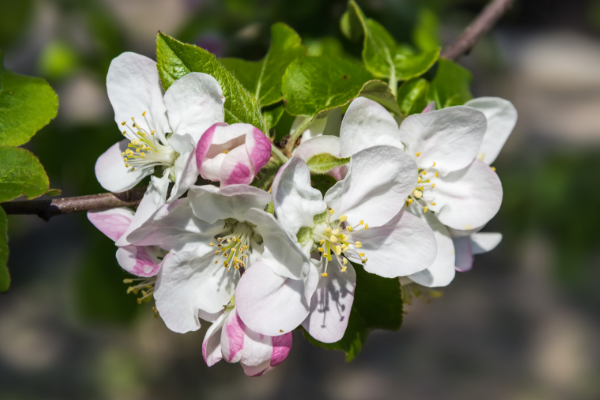 Apple Tree Blossoms Simple Living