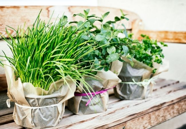 Herb Plants on a Bench Chives, Oregano, and Parsley