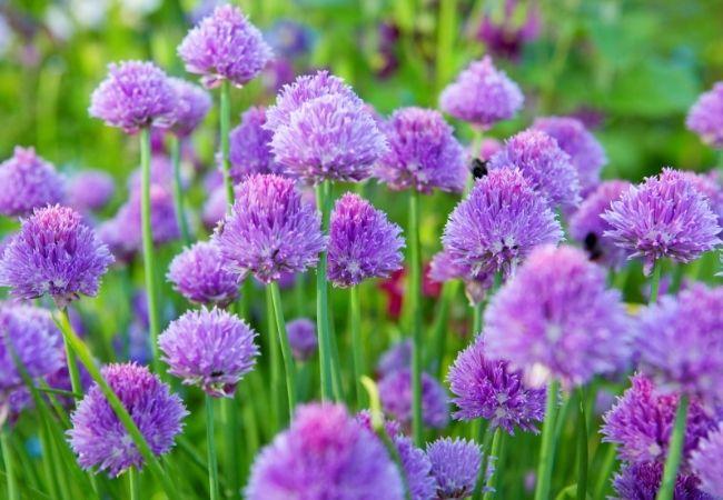 Purple Chive flowers in a garden