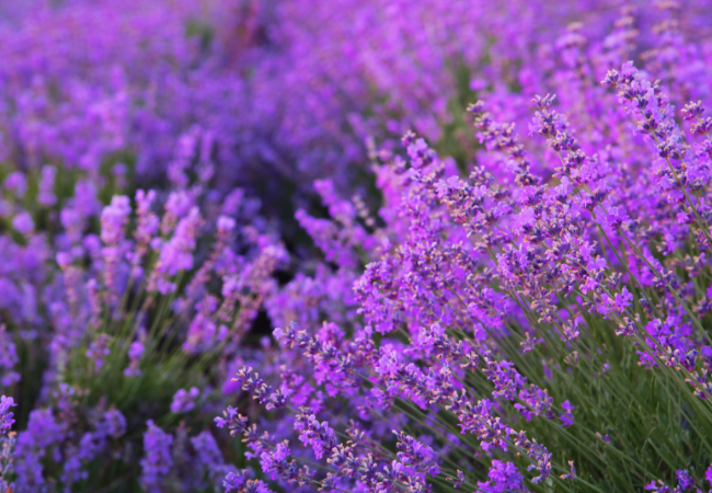 Beautiful lavender