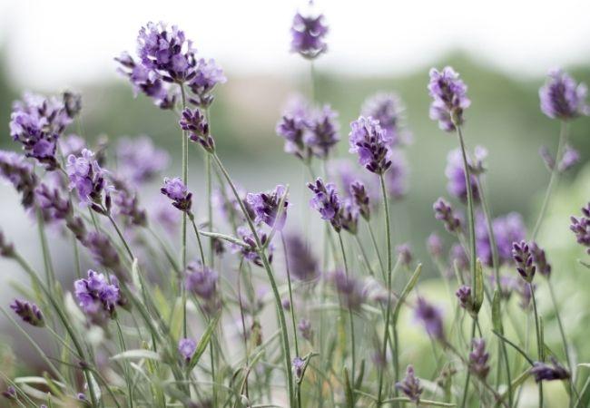 Lavender in a Field for DIY Lavender Linen Spray
