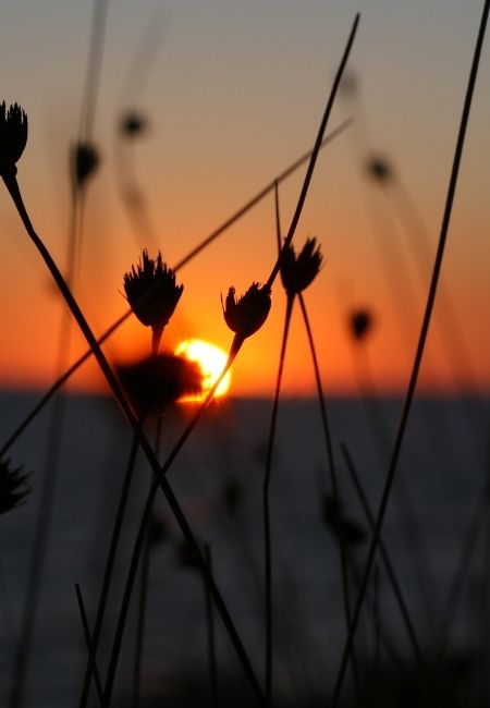 Close-up of weeds at sunset