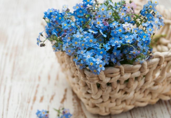 Old Fashioned Forget-me-nots
