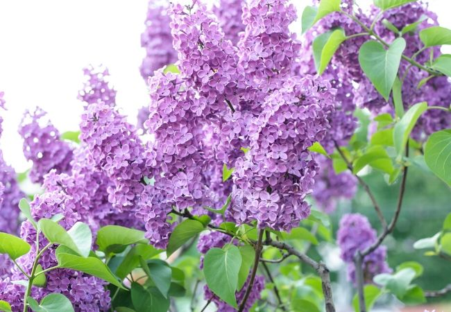 Old Fashioned Lilacs