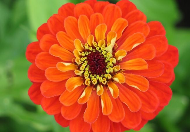 Old Fashioned Zinnia Flowers