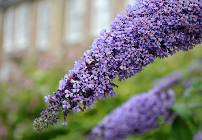 Cottage Garden Flowers - Butterfly Bush
