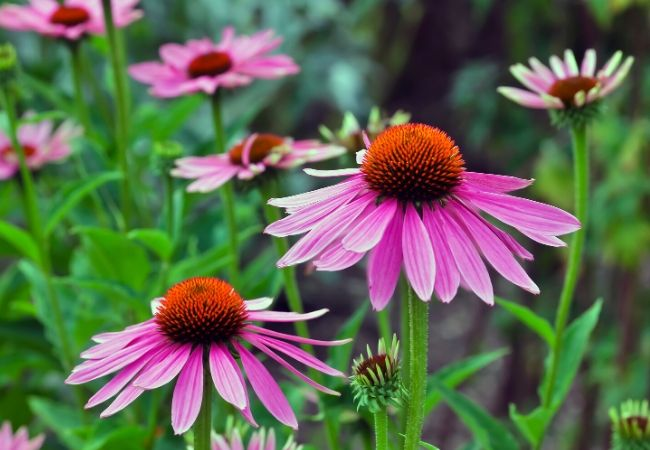 Cottage Garden Flowers - Coneflower