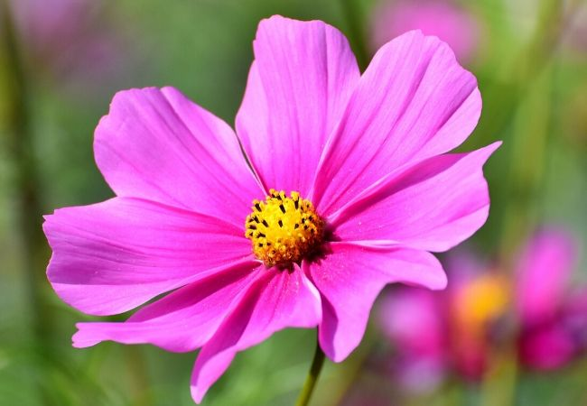 Cottage Garden Flowers - Cosmos