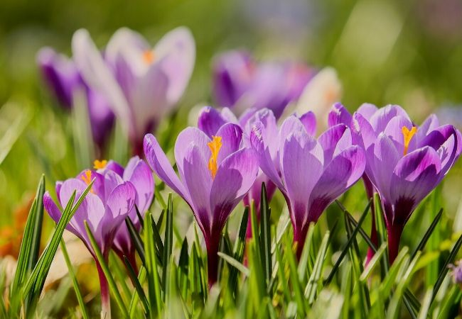 Cottage Garden Flowers - Crocus