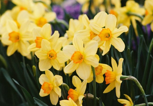 Cottage Garden Flowers - Daffodils
