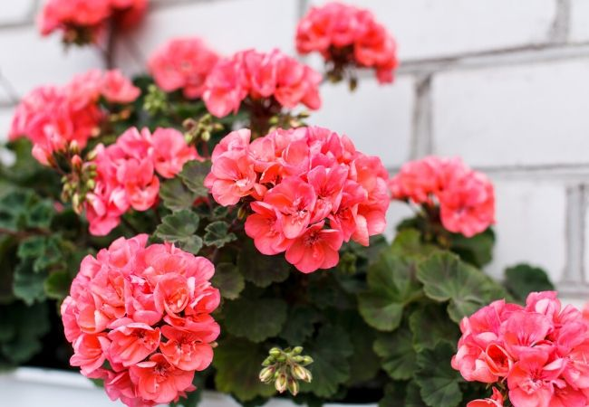 Cottage Garden Flowers - Geraniums