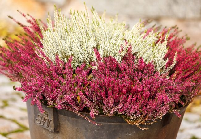 Cottage Garden Flowers - Heather