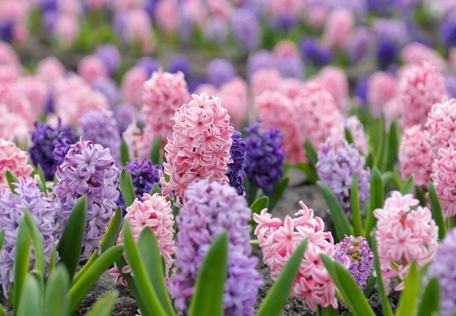 Cottage Garden Flowers - Hyacinths