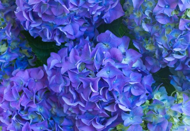 Cottage Garden Flowers - Hydrangeas