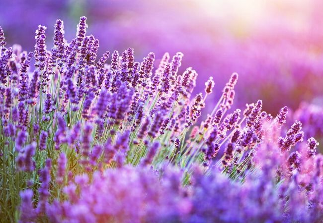 Cottage Garden Flowers - Lavender