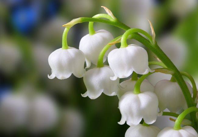Cottage Garden Flowers - Lily-of-the-valley