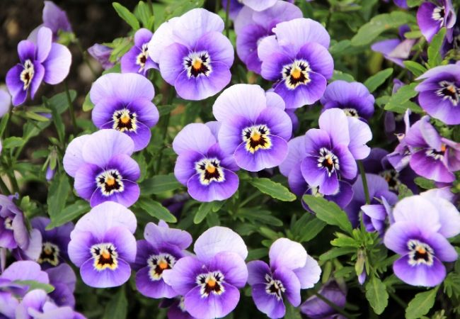 Cottage Garden Flowers - Pansies
