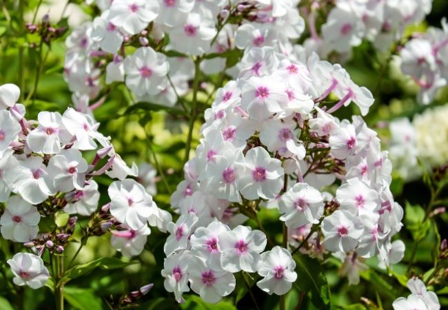 Cottage Garden Flowers - Phlox