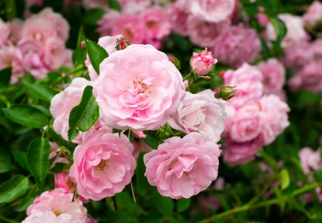 Cottage Garden Flowers - Roses