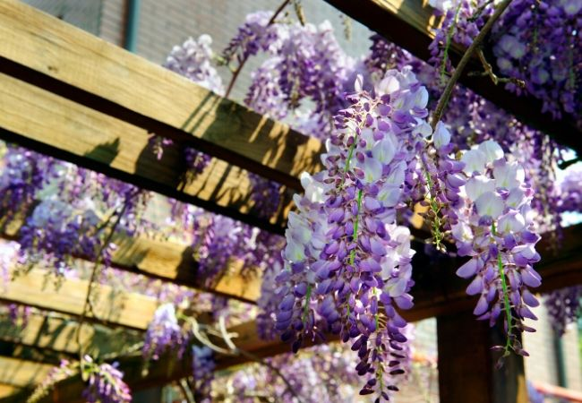 Cottage Garden Flowers - Wisteria