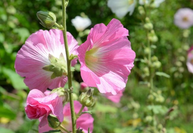 Old Fashioned Hollyhock Flowers