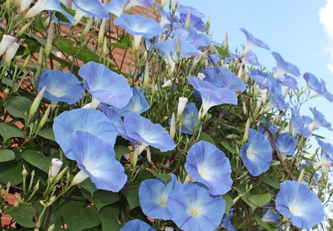 Old Fashioned Morning Glories