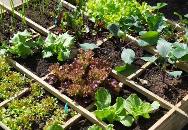 Small vegetable garden with starts