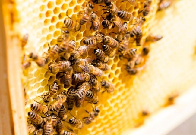 Close-up of bees making honeycomb
