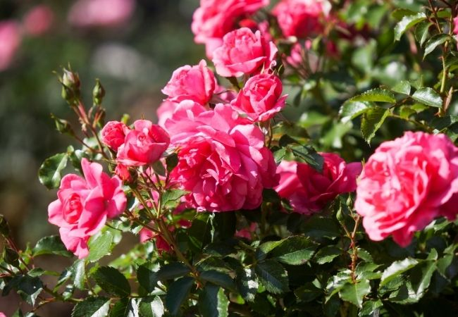 Hot pink growing roses in the sunlight