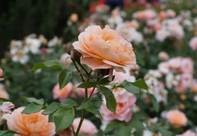 Bushes of peach growing roses in a garden